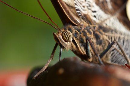 Motýl, Roman Kovář ml.