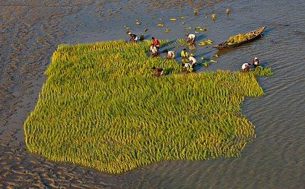 Klimatické změny a koloběh vody, Přepichování rýže (Bangladéš)